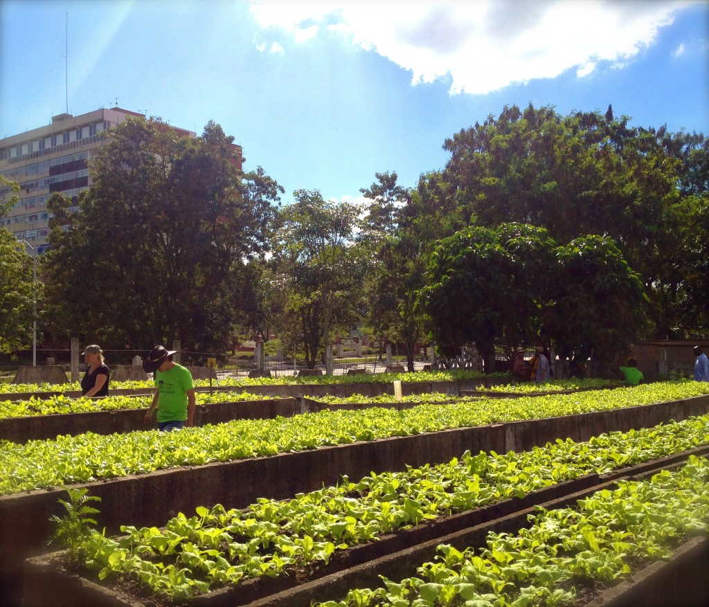 Urban Cultivation at an Organoponico in Cuba